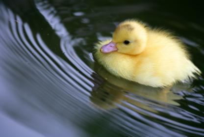 blog optimization duck